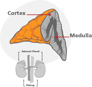 Adrenal cortex and medulla